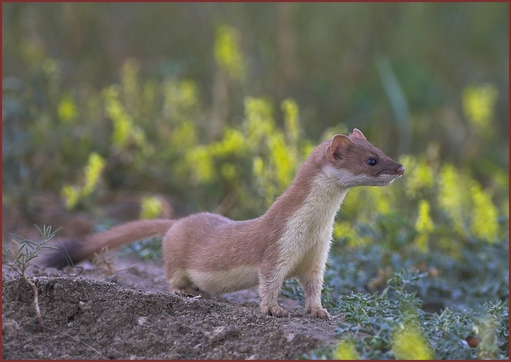 african animals of weasel picture collections