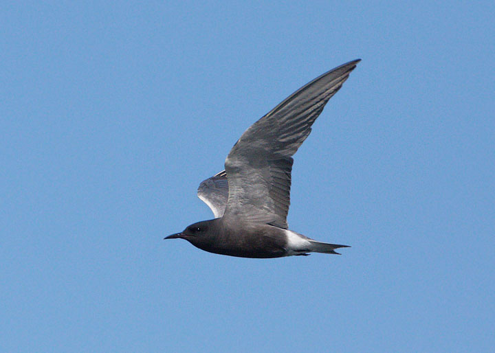 Black Tern Available a...