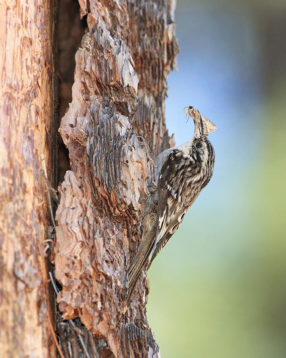 Brown Creeper Nest